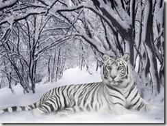 бесплатно скачать обои, снежные тигры