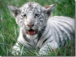 снежные тигры, белый тигр 2010