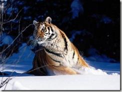 обои белый тигр, бесплатно скачать обои