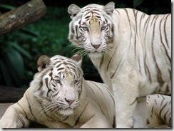 обои белый тигр, снежные тигры